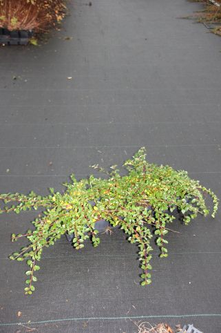 Cotoneaster damm. Mooncreeper