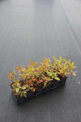 Hydrangea pan. Grandiflora